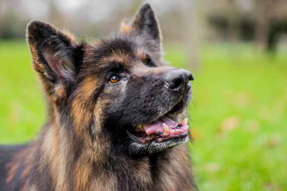 Wicket - German Shepherd - London