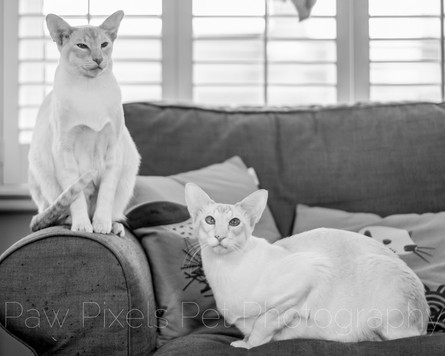 Two Siamese cats relaxing on the sofa at home in London.  Cat photography in London.  Pet photography by Ian McGlasham.