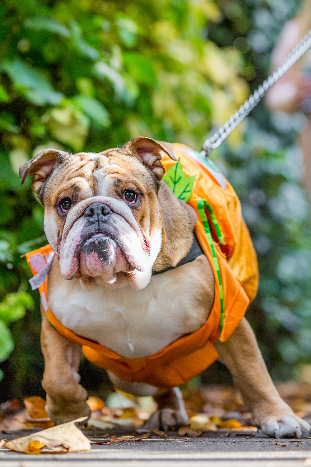 Dog photography in London. All Dogs Matter Halloween Charity Event. Scary Bulldog