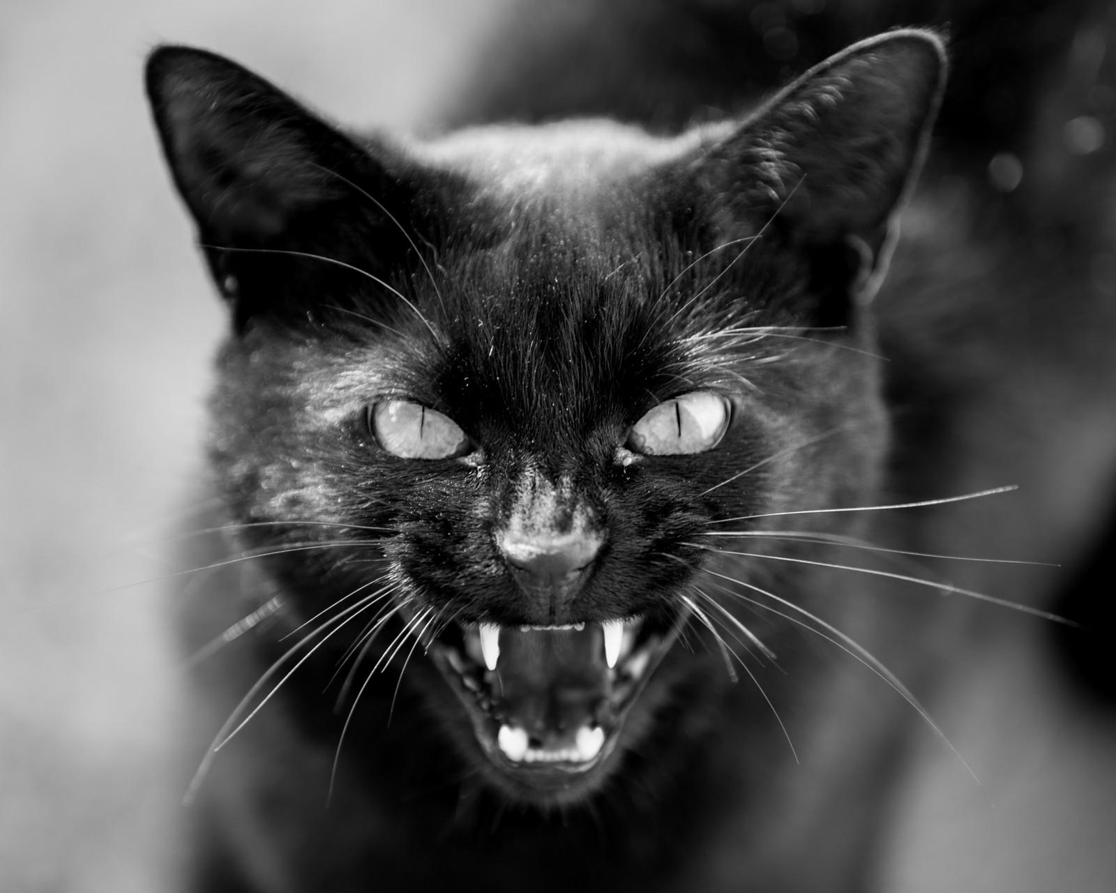 Scary Black Cat Video