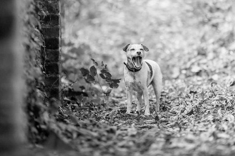 Dog photography in London. Yorshire Terrier - BertieDog photography in London. Yorshire Terrier - Bertie