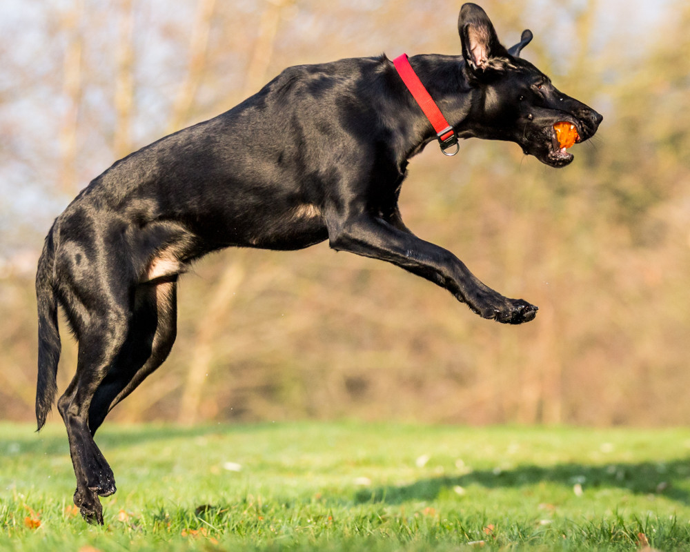 Dog Photography in London.  Bugsy catching his ball in Greenwich Park London