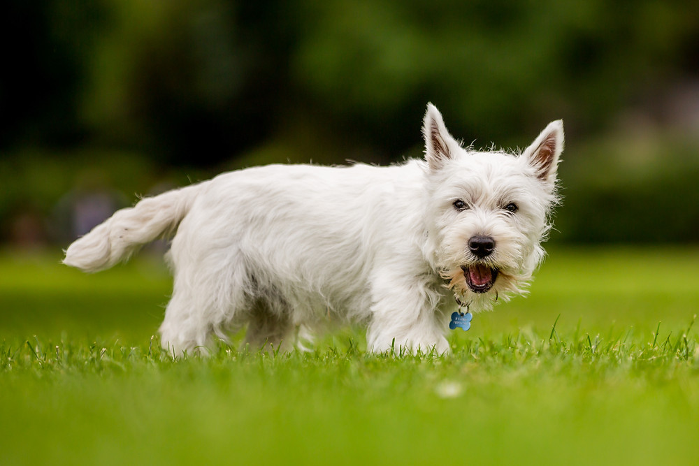 Dog photography in London. West Highland Terrier - Hector
