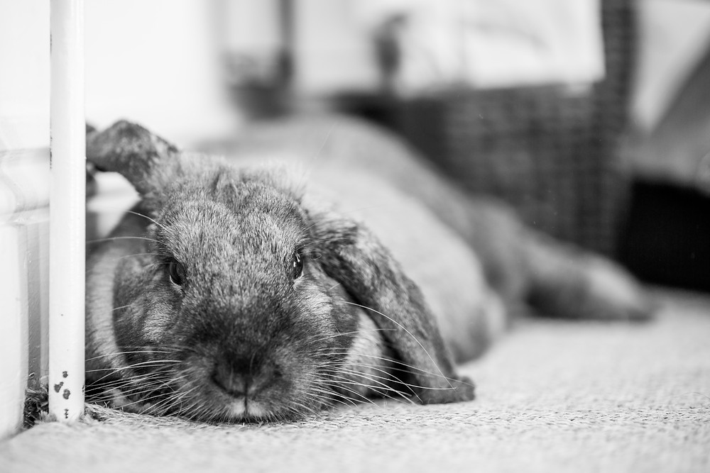 Pet photography in London. Dennis the rabbit.