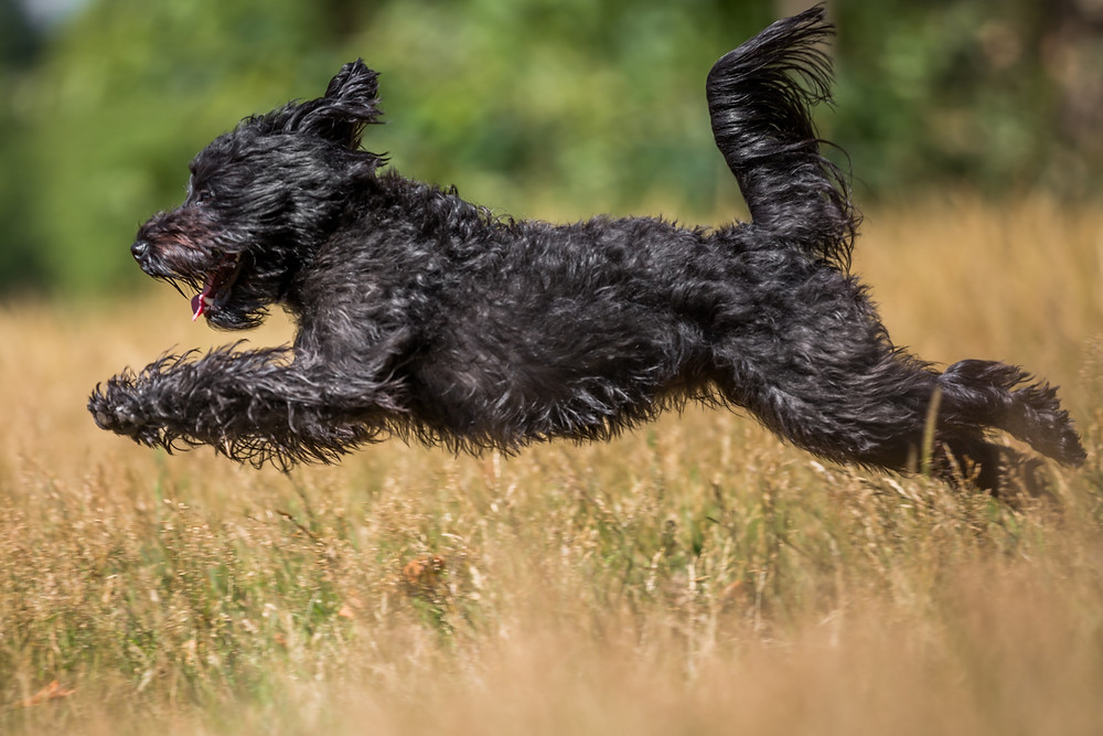 Dog photography in London. Franky the Schnoodle jumping through the grass in Hyde Park.