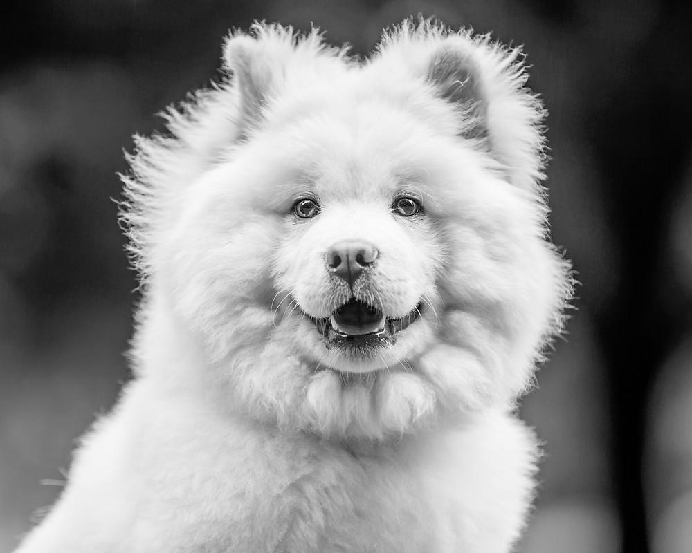 Dog photography in London. Leo the Samoyed