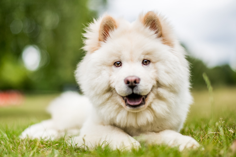 Dog photography in London. Leo the Samoyed posing in Hyde Park