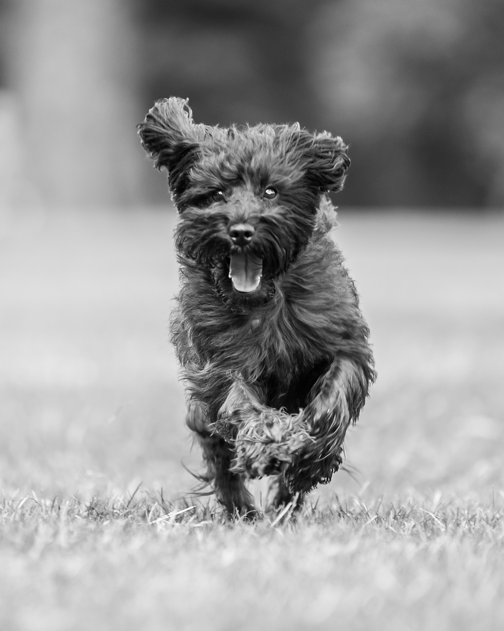 Dog photography in London. Franky the Schnoodle running around Hyde Park.