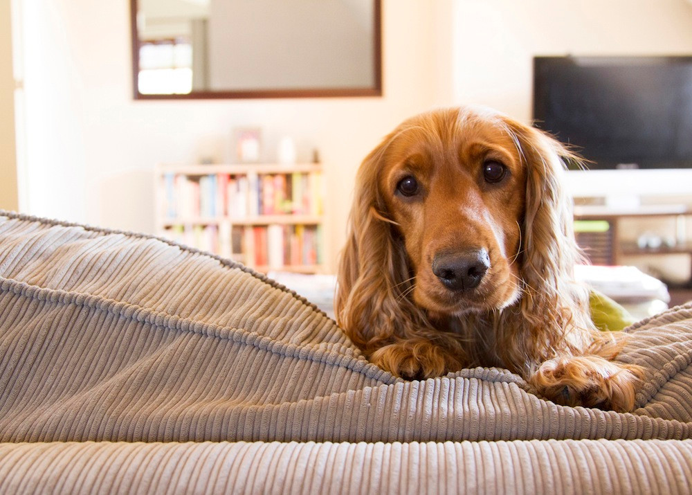 Dog photography in Cape Town - Roxy the spaniel resting on the sofa