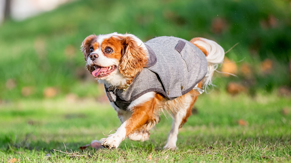 Dog Photography in London, Tiffany the King Charles Spaniel running in her herringbone outfit in East London