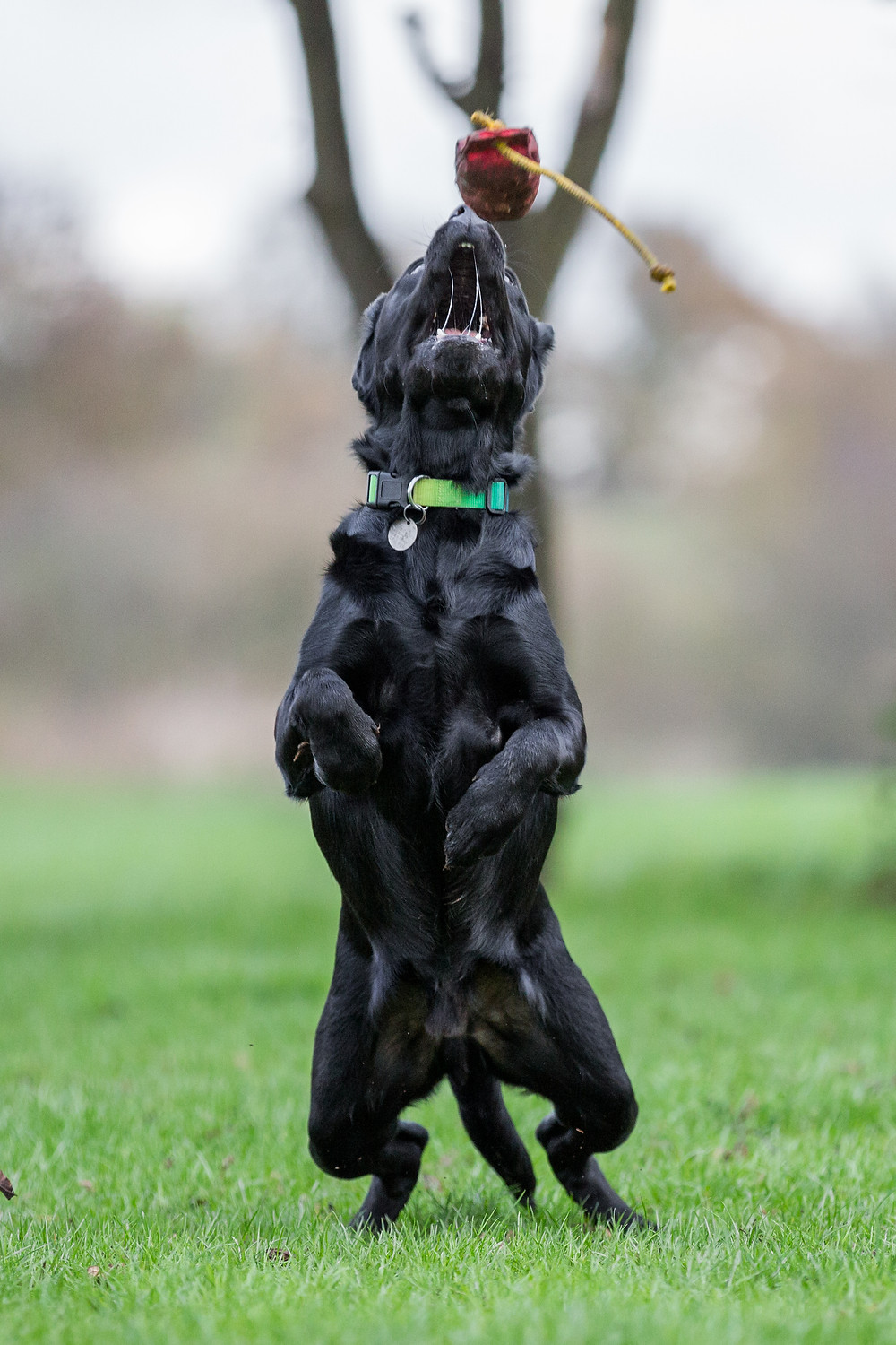 Dog photography in London. Logi the labrador jumping for his toy
