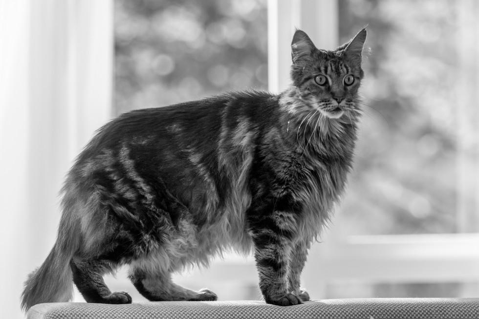 Maine Coon cat - London