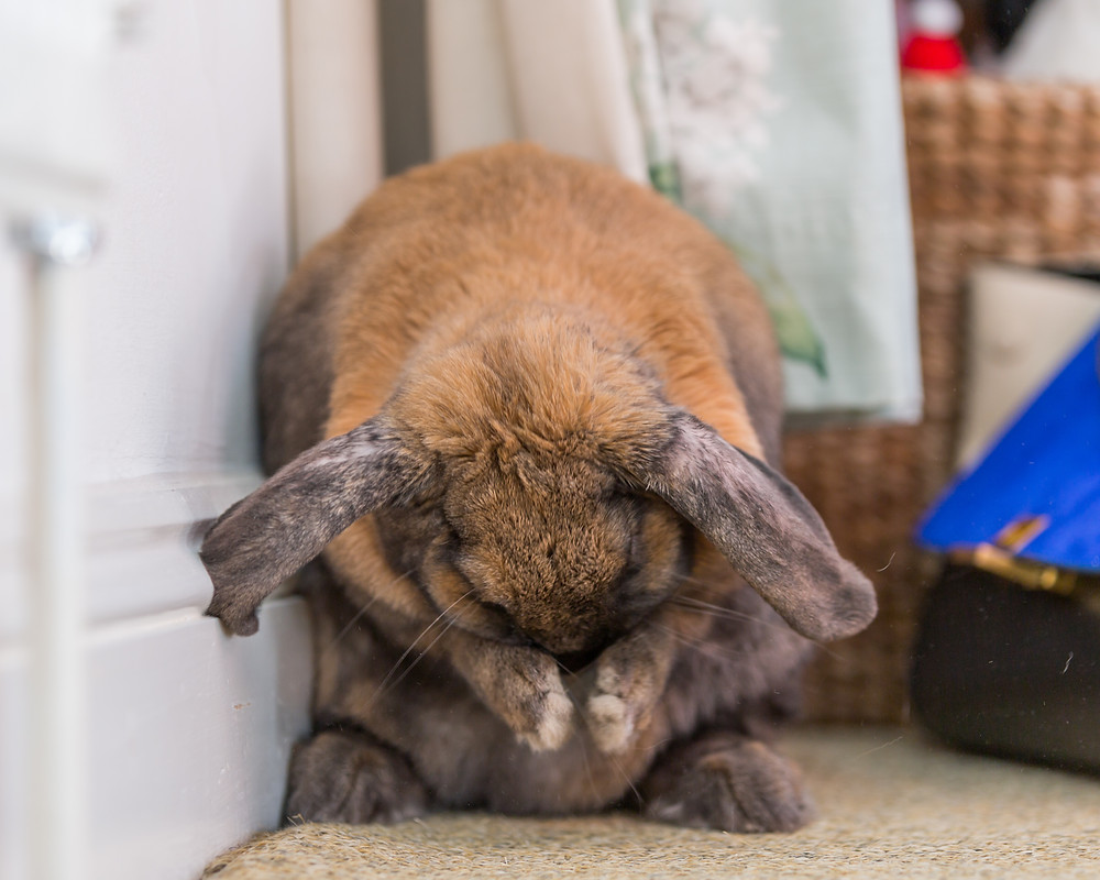 Pet photography in London. Dennis the rabbit washing