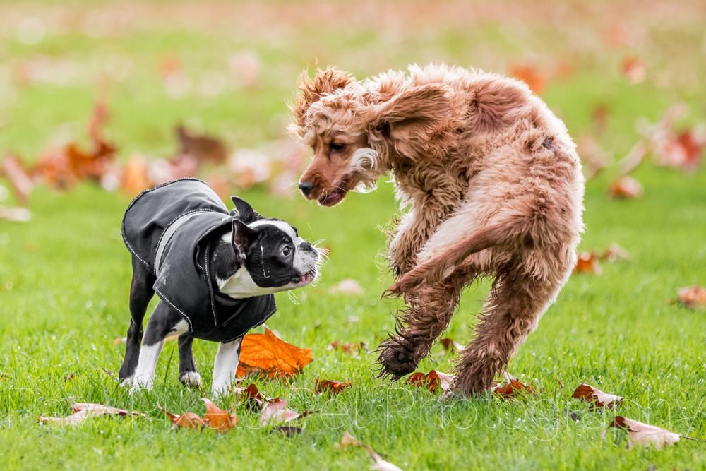 Elvis The Boston Terrier
