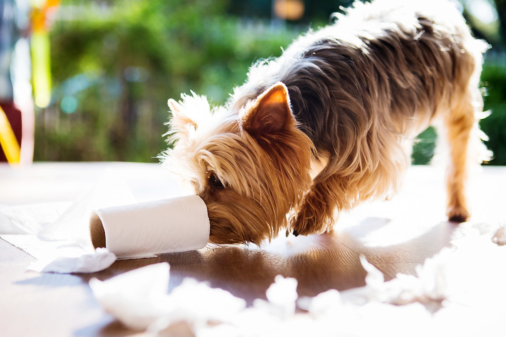 Pet photography in Cape Town. Tini the teacup yorkie