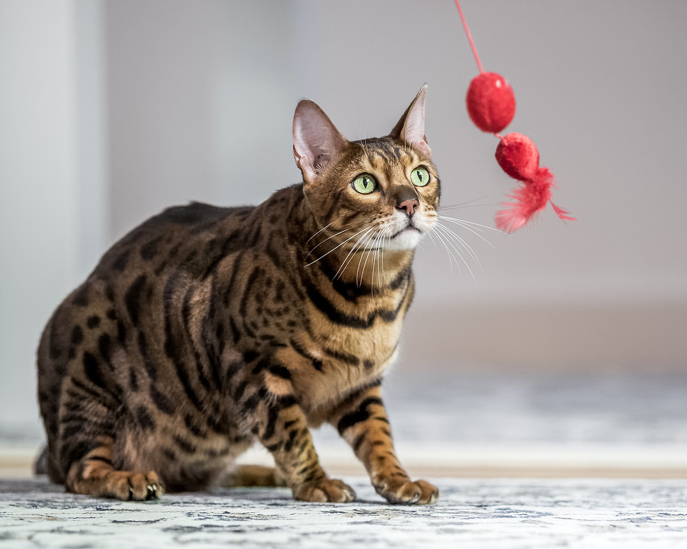 Cat photography in London. Ashford the Bengal cat playing with his toys
