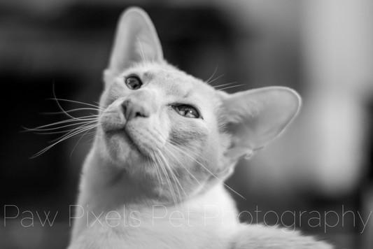 Jack the Peach Point Siamese cat