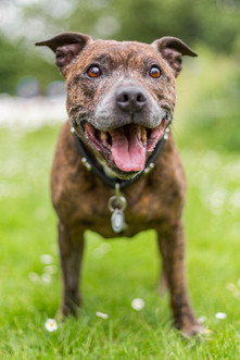 Buster - Staffordshire Bull Terrier - London