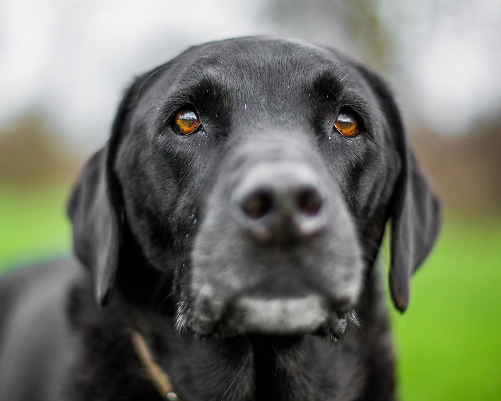 Dog photography in London. Isaac the black Labrador portrait