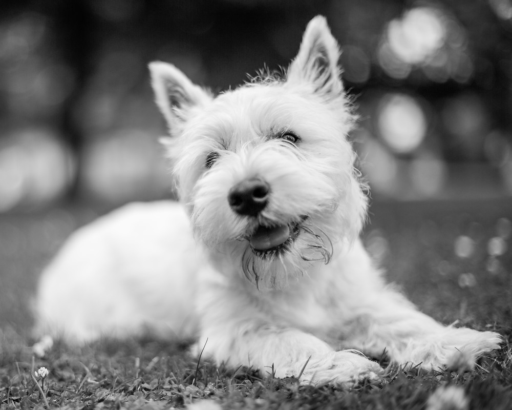 Dog photography in London. West Highland Terrier - Hector portrait