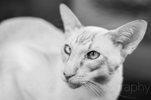 Ivy the Peach Point Siamese cat