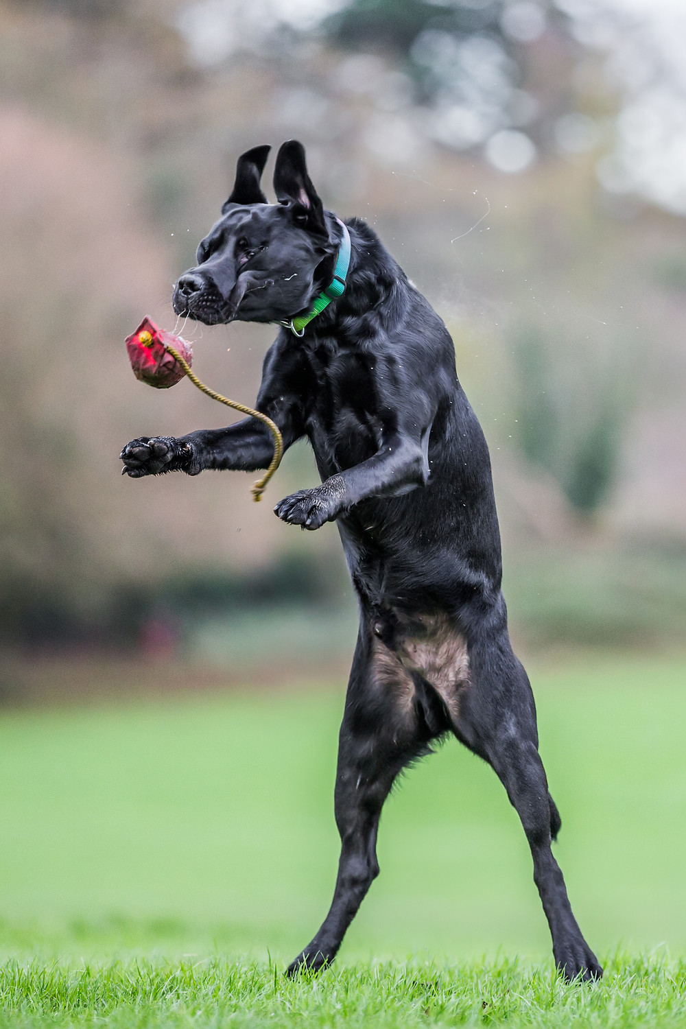 Dog photography in London. Logi the labrador almost catching a toy.