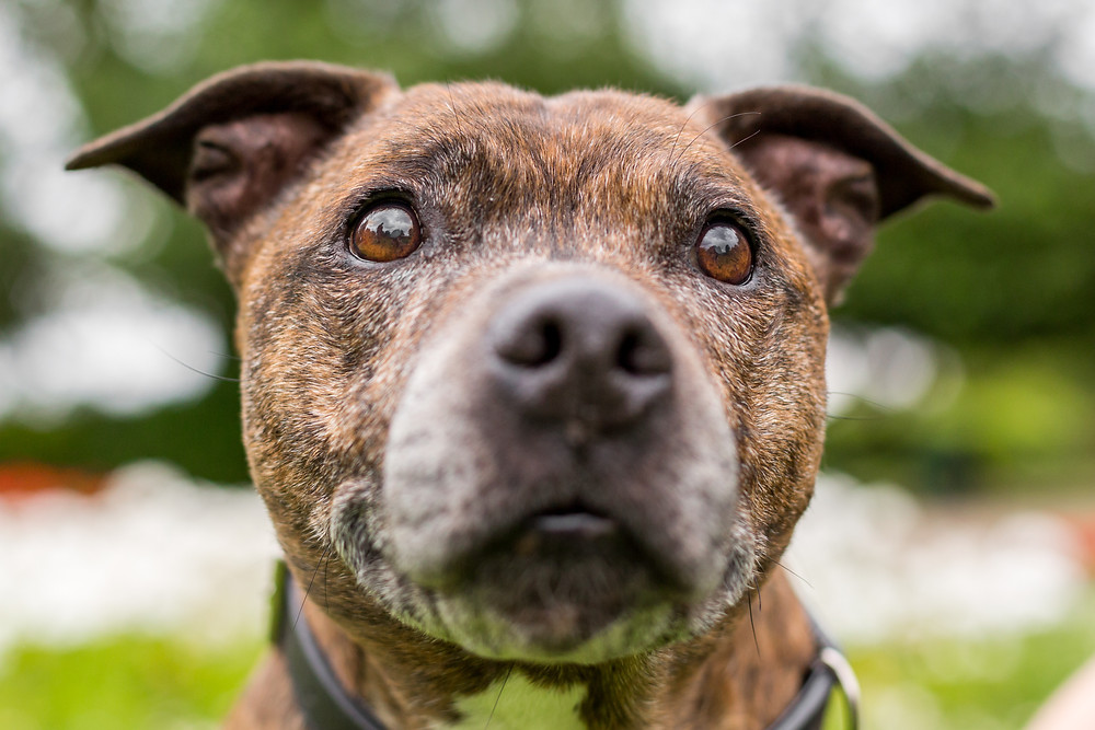 Dog photography in London. Staffordshire bull terrier, Buster