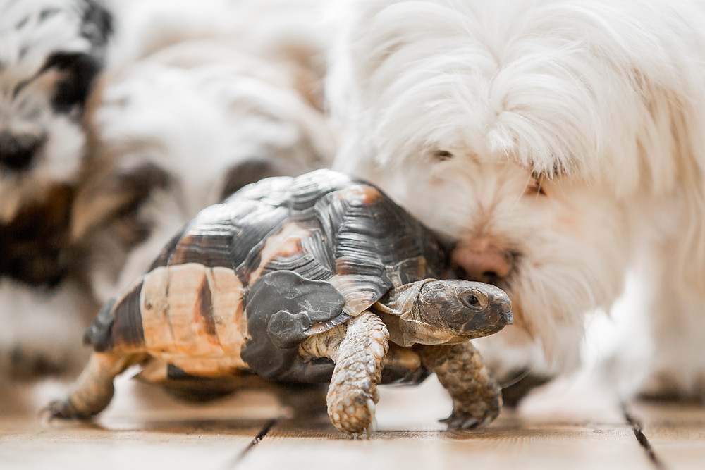 Dog photography in London. Lhaso Apso and tortoise