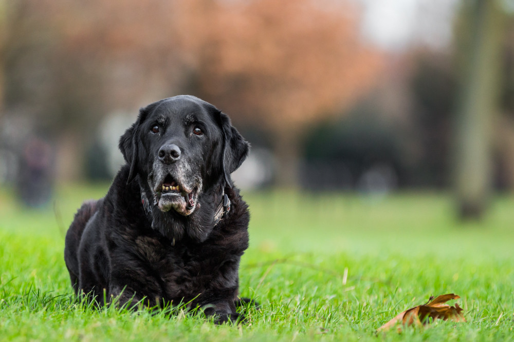 Dog Photography in London.  Oban the Black Lab resting on Clapham Common in London