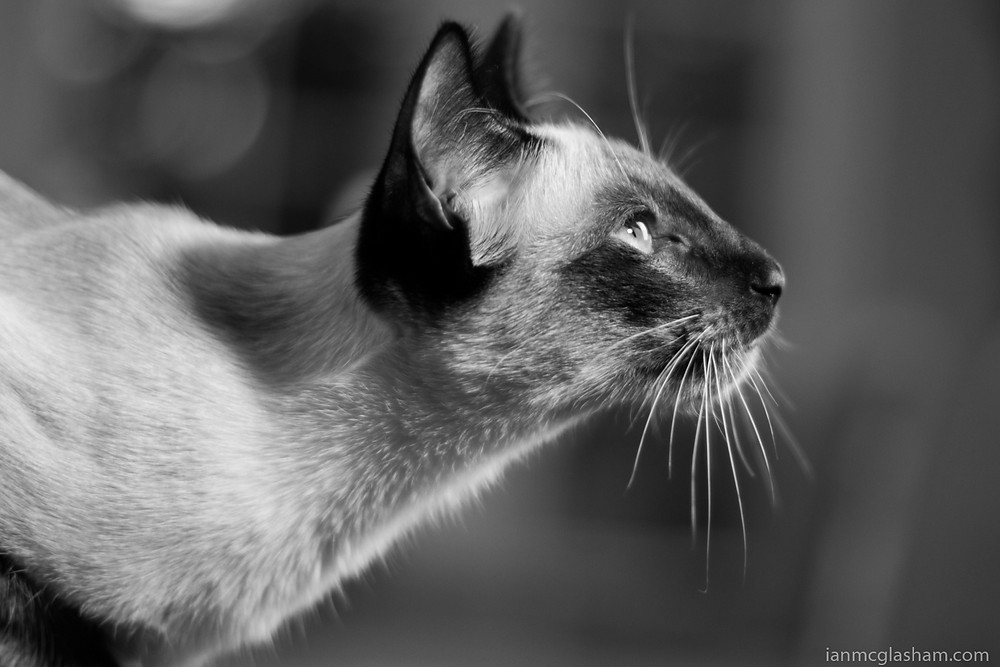 Cat photography in London. Xena the seal point siamese cat looking for food. Black and White