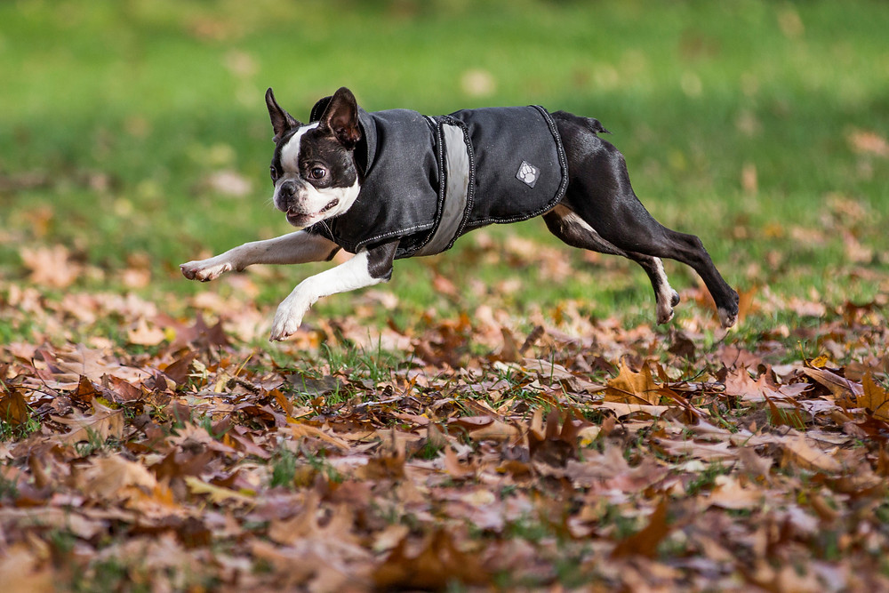 London Dog Photography. Elvis the Boston Terrier running through Autumn Leaves on Wandsworth Common in London.