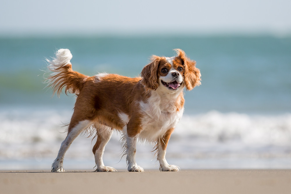 Dog photography in London. King Charles Spaniel, Tiffany standing by the shore on Folkestone Beach