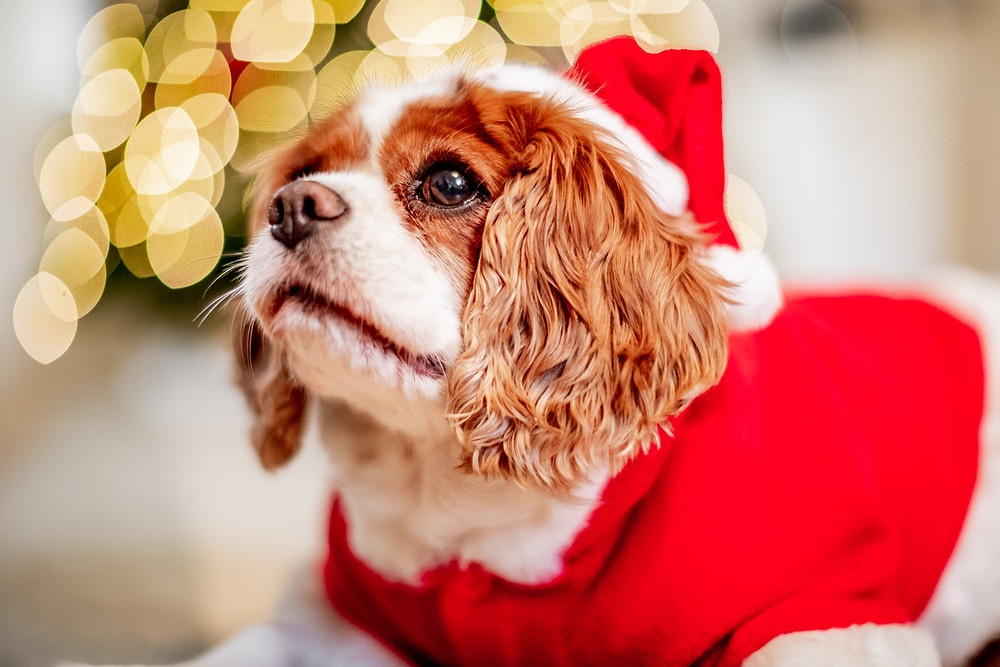 Dog Photography in London, Tiffany the King Charles Spaniel by the Christmas tree in her Santa outfit