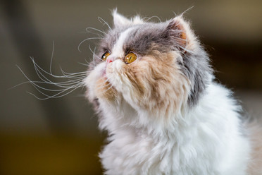 Penelope - Persian cat - London