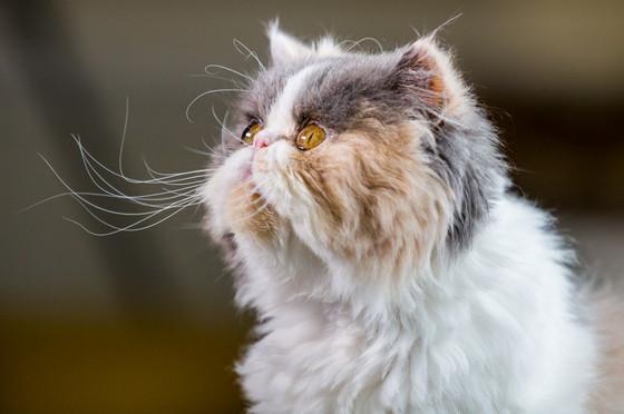 Penelope - Persian cat - London