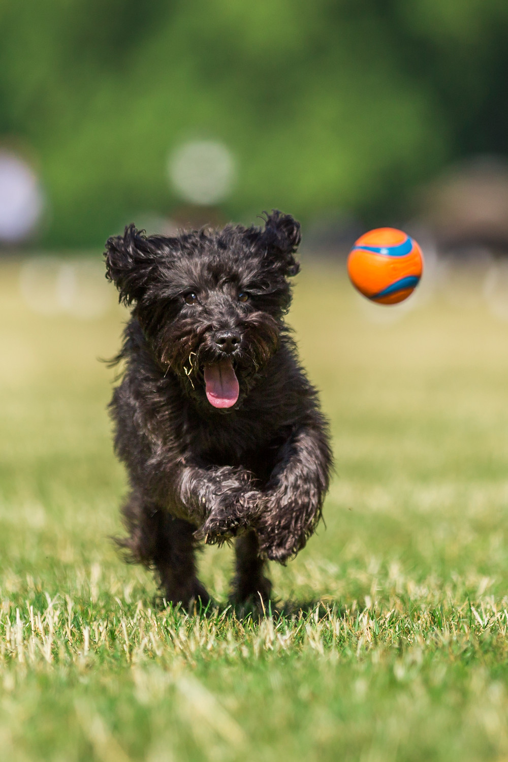 Dog photography in London. Franky the Schnoodle in Hyde Park.