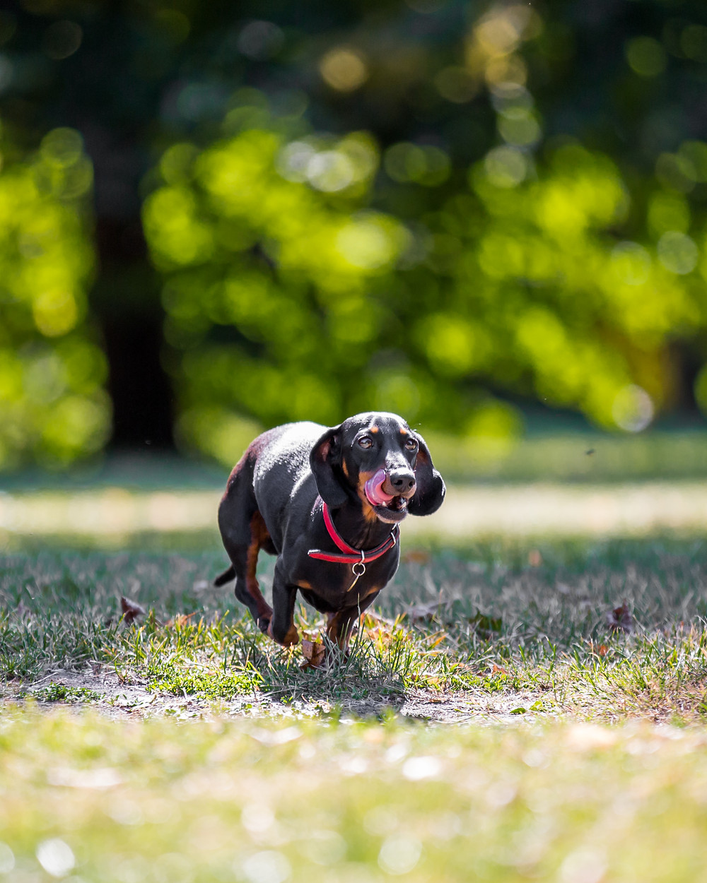 Dog photography in London. Dachshund - Dexter