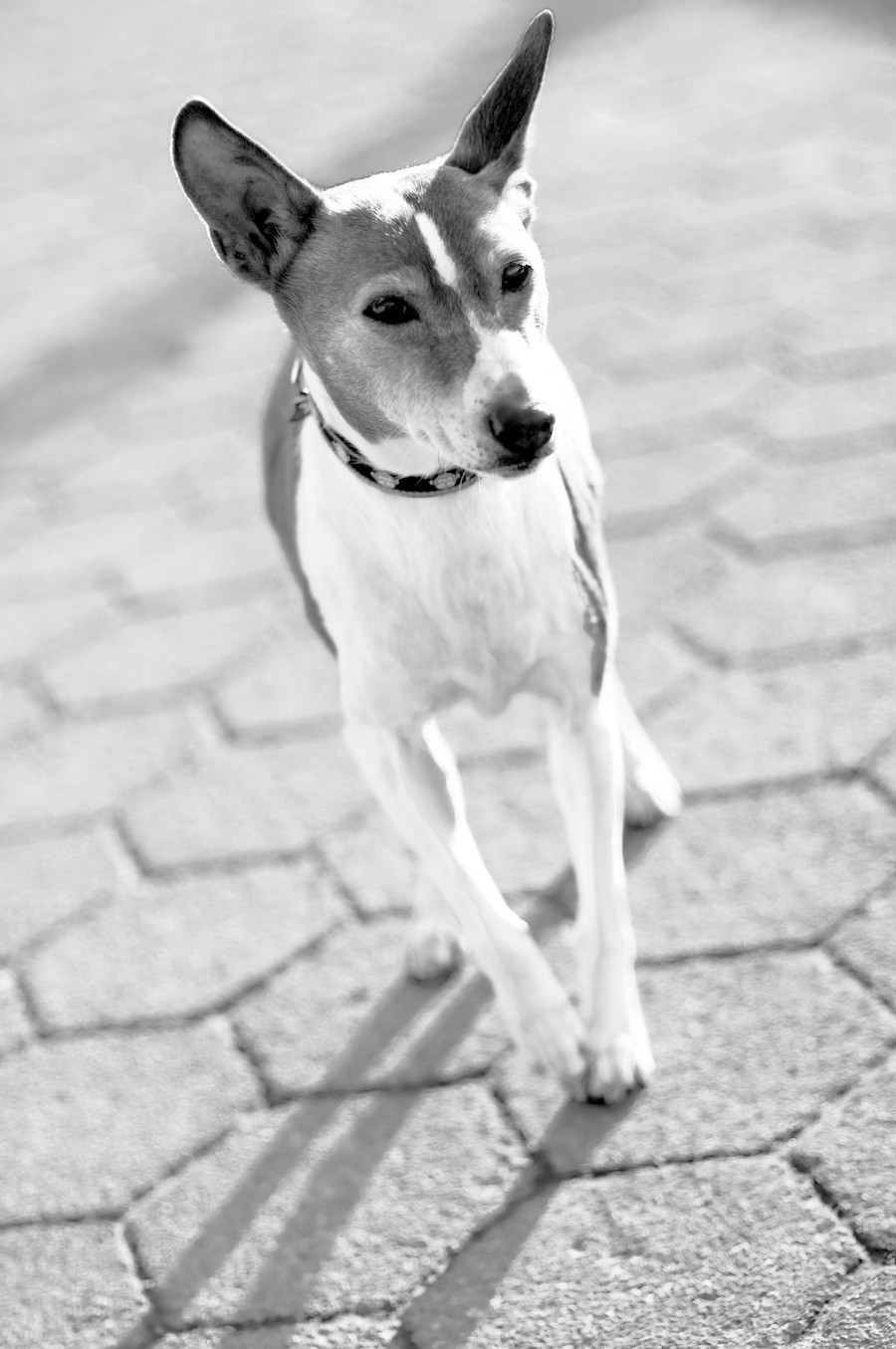 Pet photography in New York. Waldo the terrier in NYC
