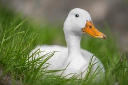 Duck - London