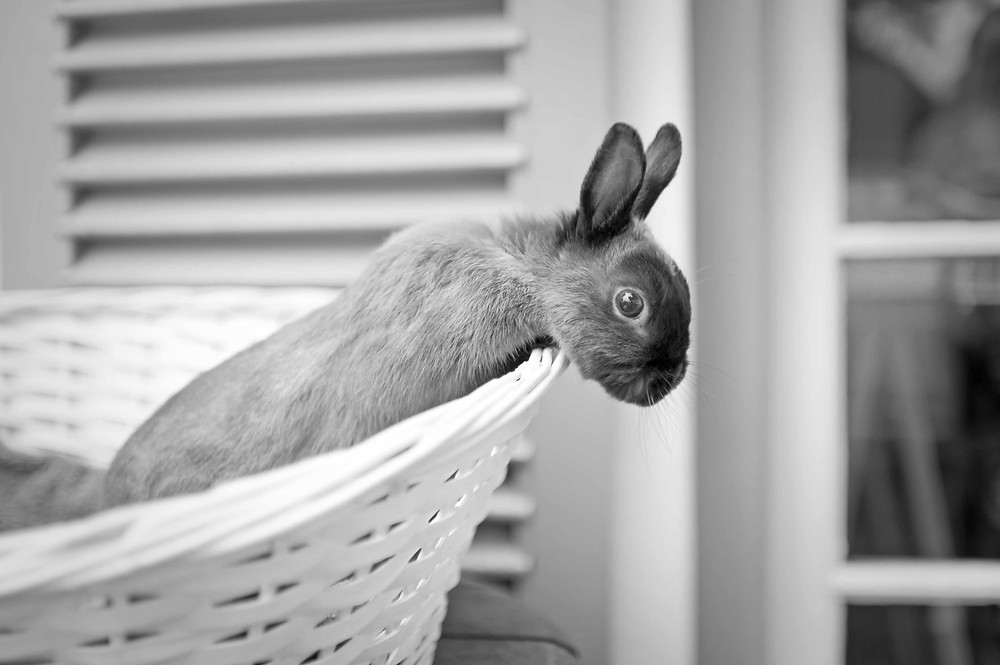Pet photography in Cape Town. Rabbit in a basket
