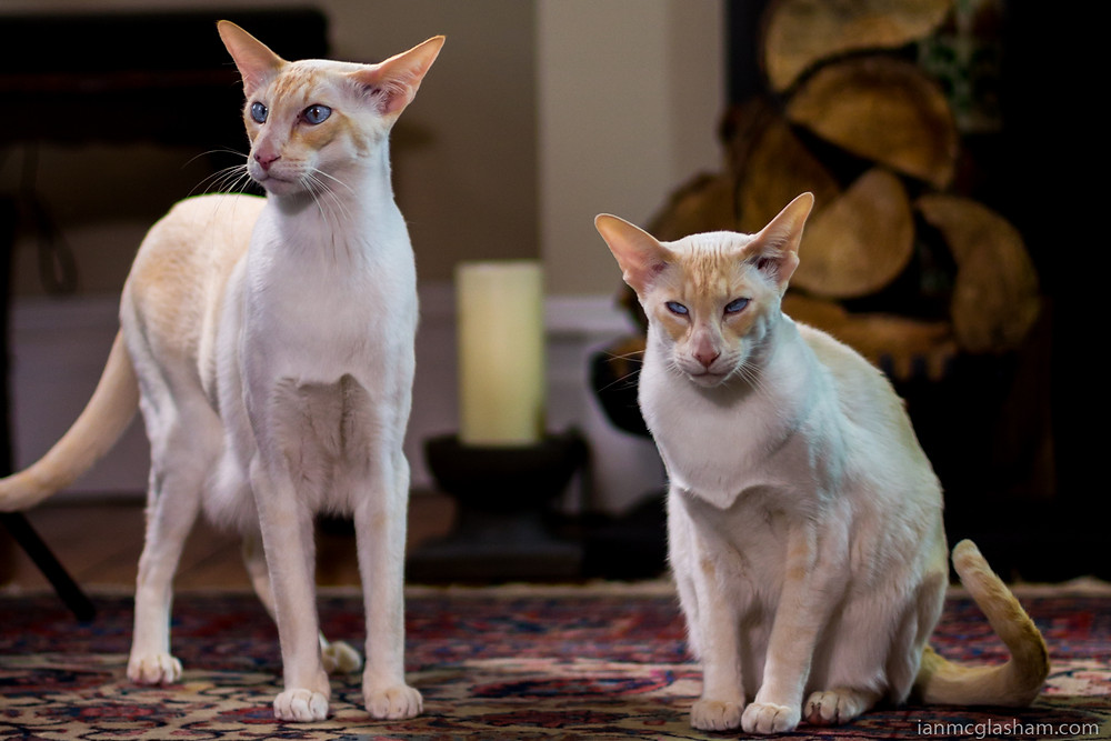 Cat photography in London. Ivy and Jack the Peach Point Siamese cats together at home in London