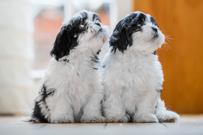 Puppies - Lhasa Apso - London