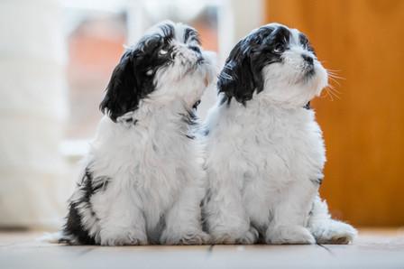 Puppies - Lhasa Apso - London