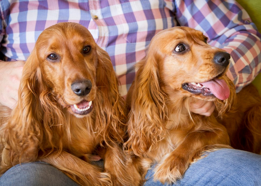 Dog photography in Cape Town - Sammy and Roxy the spaniels resting sitting on their owners knee