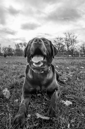 portrait of a chocolate Labrador smiling on the grass in the park in London.  London Dog Photography.  Dog photography by Ian McGlasham