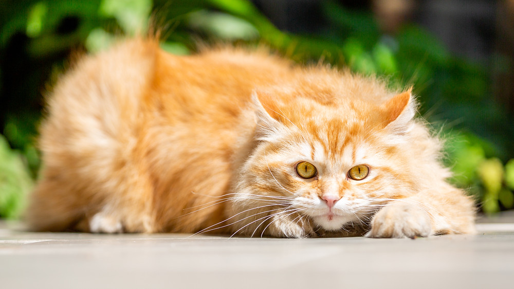 Cat photography in London. A beautiful ginger cat ready to pounce