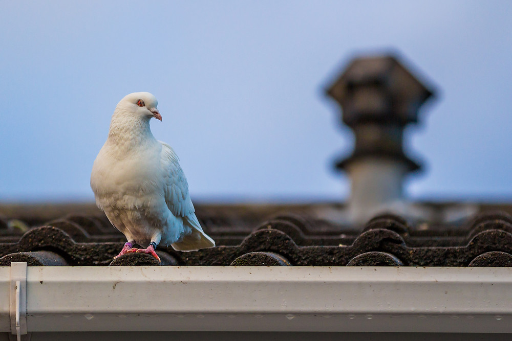 Animal photography in the UK. White dove on a roof