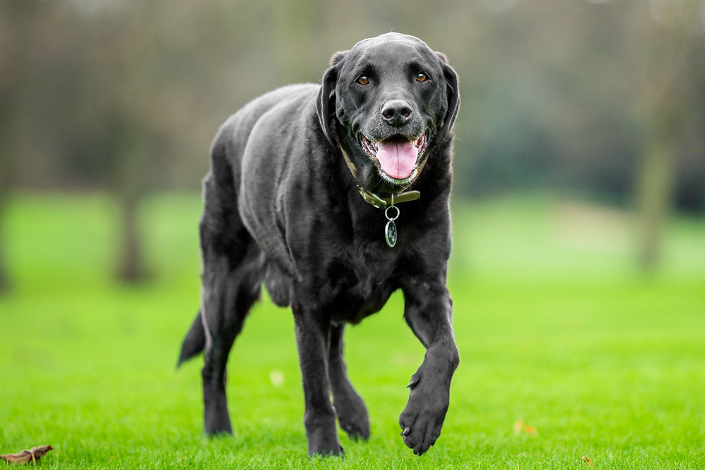 Dog photography in London. Isaac the black Labrador walking in the park
