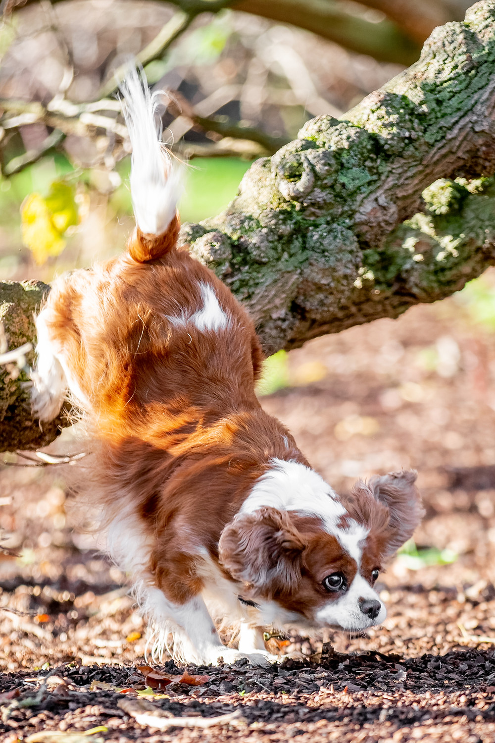 Dog Photography in London, Tiffany the King Charles Spaniel jumping down from a tree