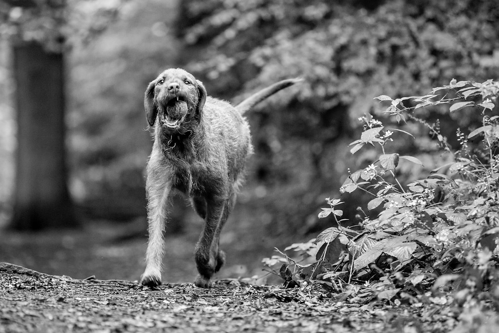 Dog photography in London. Fin the wire-haired Hungarian Vizsla in Highgate woods.